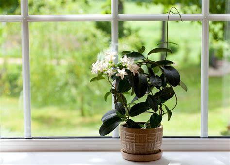 jasmine plant care learn   properly grow  jasmine bush