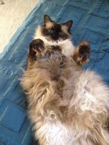 rehomed finn  ragdoll cat   loving  home