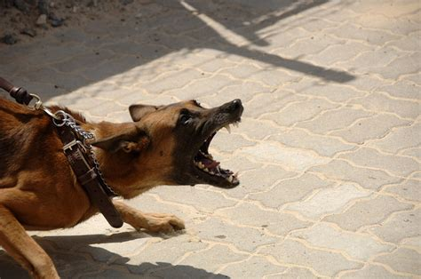 how to deal with an aggressive how to deal with aggressive dogs on a bicycle tour