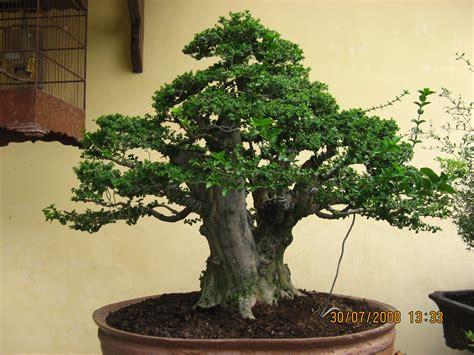 Bakalan Bonsai Kemuning bonsai bakalan koleksi bonsai bakalan saya bagi yang