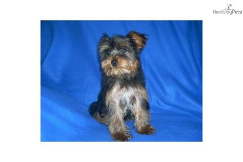 yorkie terrier price meet a terrier yorkie puppy for sale for 400 reduced price yorkie