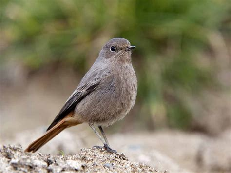 black redstarts in the uk locations diet