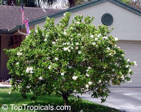 Sale Pm Gumpaste Bunga Natal Pmbntl gardenia augusta gardenia jasminoides bush gardenia cape bunga cina bush gardenia