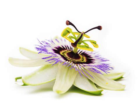 fiori passiflora i 10 fiori pi 249 belli per le composizioni di pasqua malvarosa