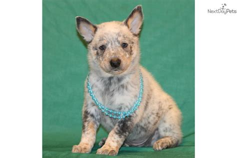 australian cattle puppies for sale near me australian cattle blue heeler puppy for sale near dallas fort worth