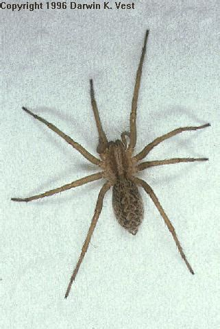 aggressive house spider the aggressive house spider