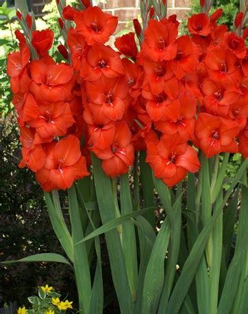 umbi gladiol merah bibit bunga
