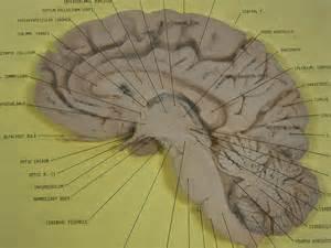 file human brain sagittal section jpg wikimedia commons