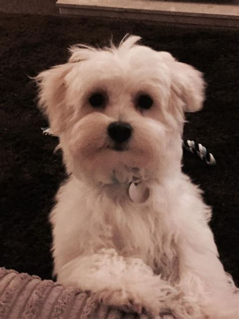 bolognese for sale bolognese puppy for sale oldham greater manchester pets4homes
