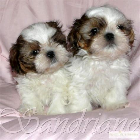 shi shih tzu puppys shih tzu puppy and shih tzu on