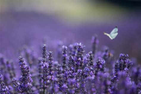 day tickets lordington lavender