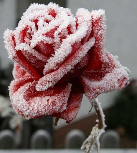 rosa d inverno fiore poesia rosa d inverno di sarren su efp fanfiction