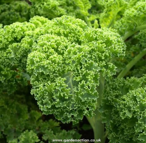 vegetables kale how to grow the vegetable kale