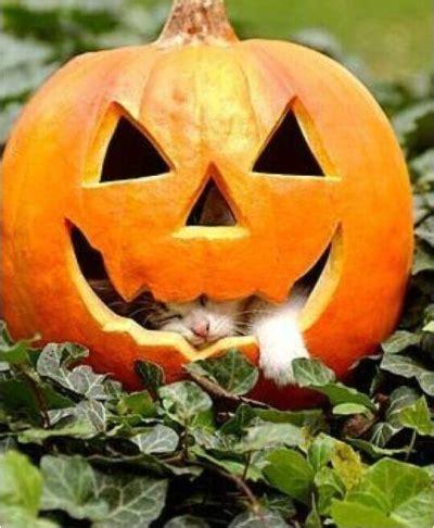 cat and pumpkin pumpkins pictures