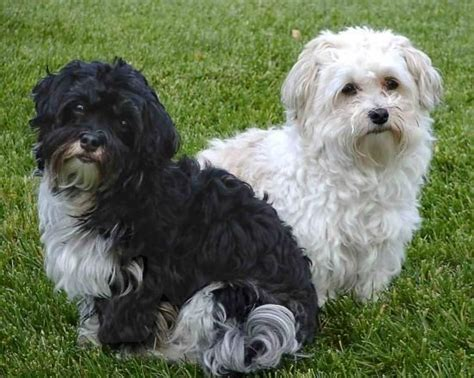 cuban havanese puppies 112 best images about havanese cuba on dogs abyssinian cat and image