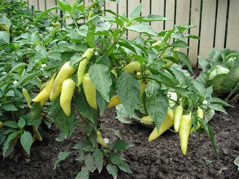 Sweet Banana Pepper Plant Gardening Pinterest How To Plant Vegetable Garden