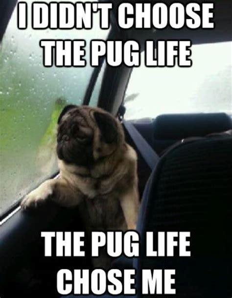 pug kid meme the contemplative world of the introspective pug