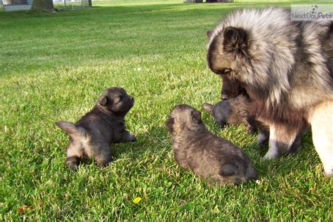 keeshond puppies for sale near me keeshond puppy for sale near indianapolis indiana d3eaf71a 8871