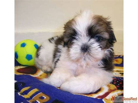 shih tzu for sale in bangalore shih tzu puppy for sale 174 9555944924 pets animals in delhi