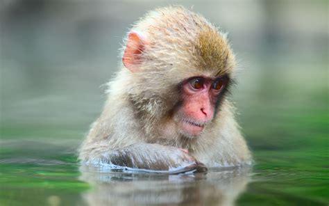 wallpaper cute monkey monkey full hd wallpaper and background 2560x1600 id