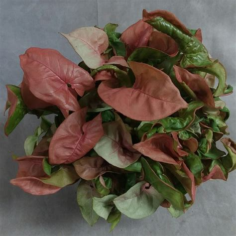 syngonium podophyllum pink allusion arrowhead vine