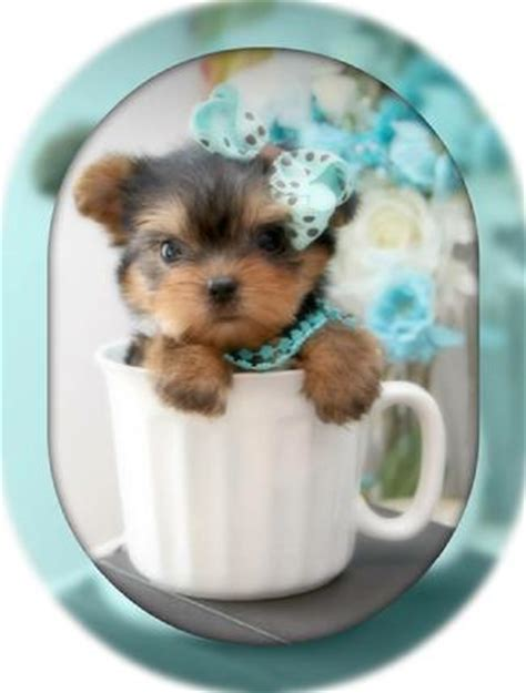grown micro teacup yorkie teacup yorkie teacup yorkies yorkies for sale micro teacup puppies yorkiebabies