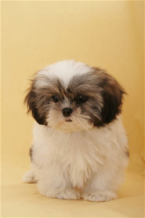 shih tzu wallpapers shih tzu live wallpaper appstore for android