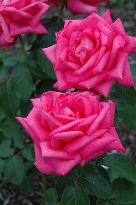 american beauty rose rosa   american