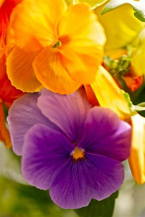 pansy colors pansies flowers i color flowers