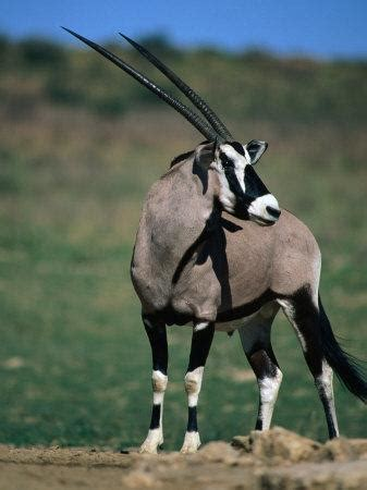 gemsbok  south african oryx kgalagadi transfrontier park northern cape south africa