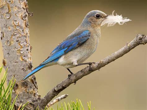 mountain bluebird audubon field guide