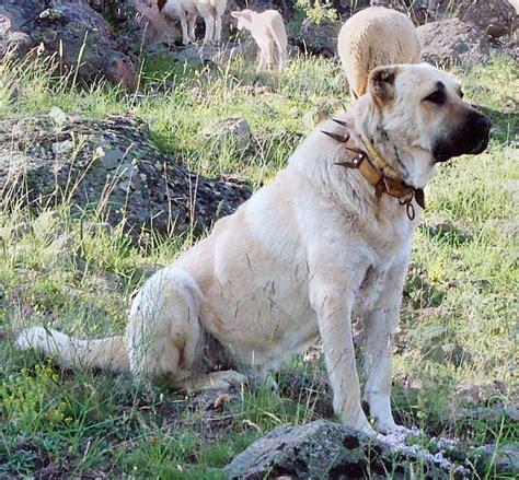 kangal dogs file kangal with spikey collar turkey jpg
