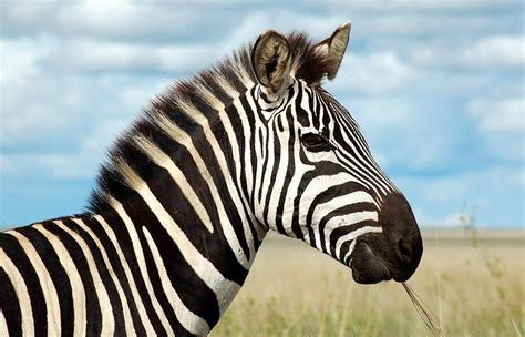 The Zebra: One Of Africa's Most Beautiful Creatures