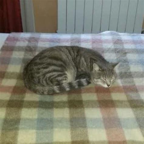 cucciolissimi org cucciolissimi smarrito gatto cucciolissimi org cucciolissimi smarrito gatto tigrato