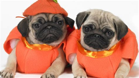 pugs in 10 awesome costumes for pugs