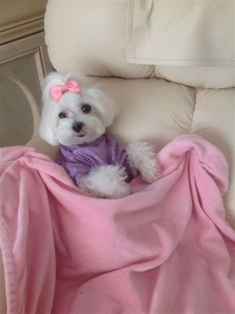 maltese dog cottony hair top 1133 ideas about maltese hair styles on pinterest