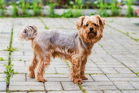how much to feed a yorkie puppy how much should your terrier weigh pets4homes