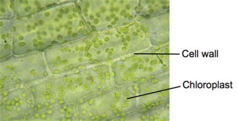 elodea cell diagram elodea pondweed experiments on microscopes 4 schools