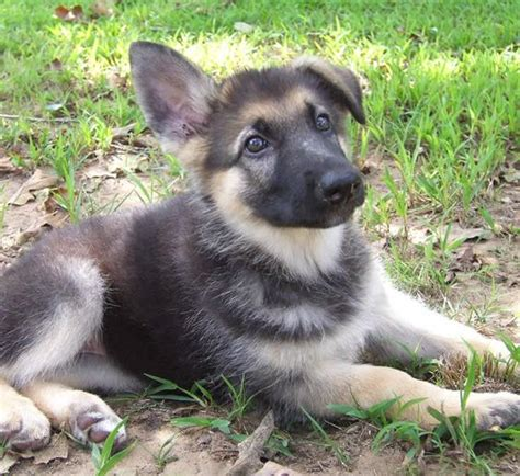 grey german shepherd puppies gray german shepherd puppies wallpaper animals german shepherd