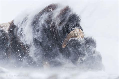 snow buffalo wallpapers hd desktop  mobile backgrounds