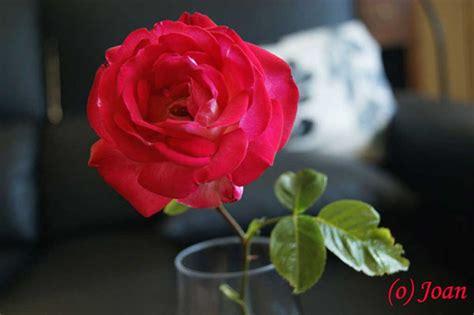 las mas hermosas fotos de rosas con poemas de amor image gallery las rosas mas lindas