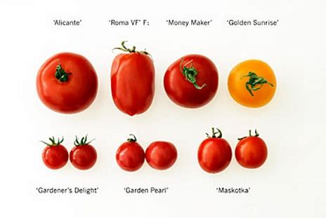 Benih Ciplukan Jumbo mana jenis tomat impor yang sesuai selera anda