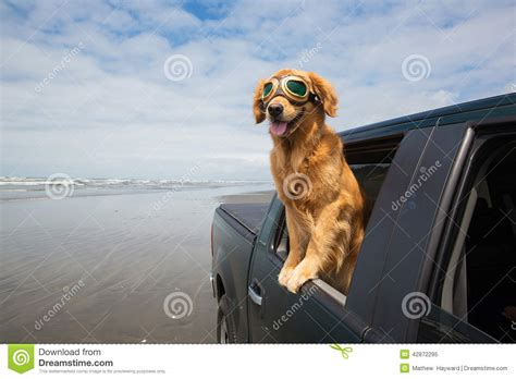 golden retriever driving driving in a truck on the stock image image of