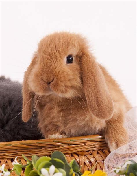 alimentazione coniglio nano ariete coniglio arietenano fulvo la stalla dei conigli