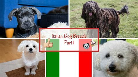 italian dogs italian breeds part 1 funnydog tv