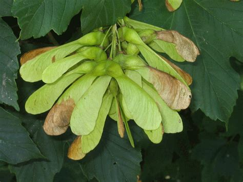 maple tree fruit sycamore maple tree photo gallery