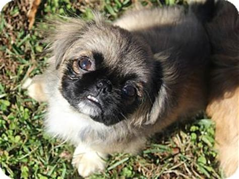 shih tzu puppies greenville sc raisa adopted puppy greenville sc pekingese shih