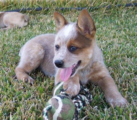 puppies are us heelers are us breeds picture