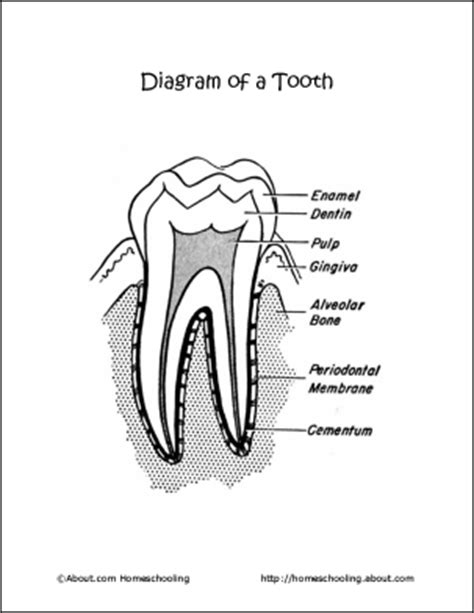 dental anatomy coloring book pdf 32 gems basic diagram of tooth