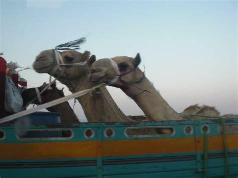 viaggiatori per caso cammelli viaggiatori viaggi vacanze e turismo turisti